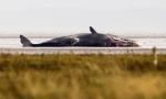 dead-sperm-whales-UK5