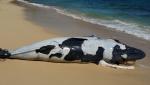 Fallece-cria-ballena-jorobada-Republica-Dominicana