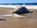 La ballena muerte tiene una longitud de alrededor de 14 metros. Foto : Twitter/@ABaranano