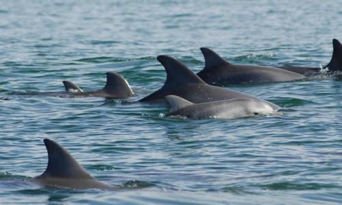 Hembras de delfín mular nadando junto a sus crías. / Holly Raudino