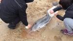 Cría de delfín aparecida en la playa de Xagó que desató la polémica entre ecologistas y Principado. / E. C.