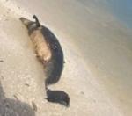 El delfín hallado anteayer por un cazador en Ya'ax Mangle, Sisal