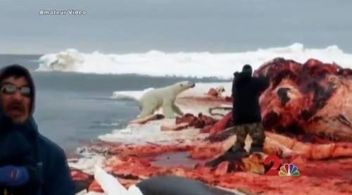 oso-polar-matanza2