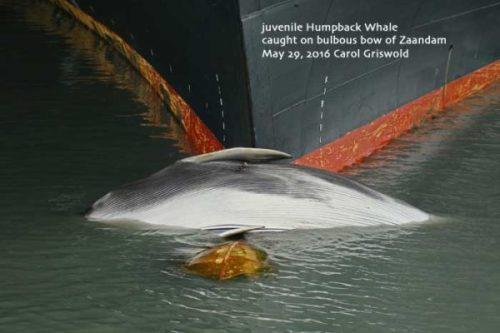 dead-whale-on-cruise-ship-bow-Alaska