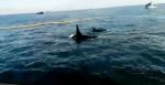orcas_punta_lavapie-Chile