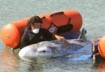 """El calderón gris puede aprender el """"idioma"""" de otros cetáceos. EFE/Jaume Sellart"""