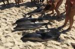 varamiento-en-masa-delfines-comunes-Portugal