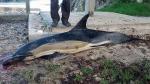 Imagen de un delfín que murió varad entre las piedras en la costa asturiana. Imagen Juanho Arrojo/CEPESMA