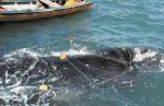 Personal de autoridades federales de medio ambiente rescataron a una ballena jorobada adulta que se encontraba enmallada en el Área de Protección de Flora y Fauna de Cabo San Lucas.