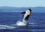 "J2 or ""Granny"" may be as old as 105 but she's still athletic. Courtesy Orca network."